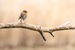 Une pause - A break (bboozoo) Tags: rougegorge robin oiseau bird nature animal wildlife branch branche bokeh profondeurdechamp pastel canon100400 canon6dmarkii