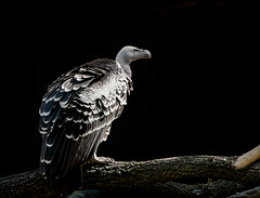 Griffon vulture (*Millie*) Tags: smithsoniannationalzoo washingtondc bird rüppellsgriffonvulture vulture gypsrueppelli zoo blackbackground light lightandshadows canoneosrebelt6i ef70300mmf456isiiusm soe animalplanet milliecruz