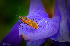 Gendarme aux aguets (didier95) Tags: punaise gendarme insecte fleur rouge bleu macro nature