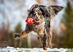 Picture of the Day (Keshet Kennels & Rescue) Tags: dog ontario canada dogs ottawa canine breed adoption keshet rescue pet pets nature animal animals toy photography mix play natural kong fetch kennel catahoula