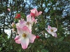 November Roses 01 (Quetzalcoatl002) Tags: roses rose november autumn flowers beauty garden closeup pink
