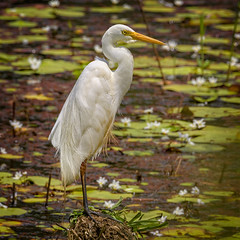 intermediate egret (Fat Burns ☮) Tags: intermediateegret ardeaintermedia bird australianbird fauna australianfauna waterbird wader nature sandycamproadwetlands wynnum queensland australia nikond500 nikon20005000mmf56vr wildlife australianwildlife