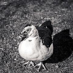 The cautious duck in the swirly bokeh leica m8 5cm summitar (jeanlapalme) Tags: bird quebec canada monochrome monochrom art blackandwhite winter grass leicathreadmount m39 ltm summitar5cm summitar télémètre rangefinder m8 leicam8 leicam leitz canard quack ducky duck