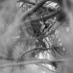 du coin de l'oeil (yannls) Tags: asiootus owls bretagne noiretblanc nikond500 wildlife