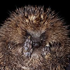 sleepy hedgehog (Duncan the road rebel) Tags: hedgehog wildanimal wild animal
