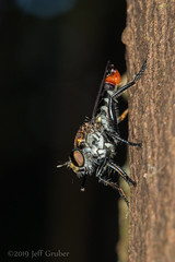 Robber Fly (jgruber111) Tags: laphriinae asilidae diptera insect macro entomology robberfly laspiedrasamazoncenter