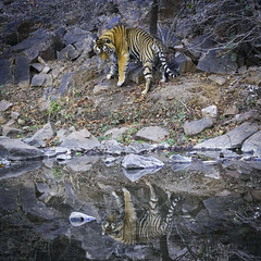 Indian Bengal Tiger - 2 for the price of 1 (J. Kail Travel Photos) Tags: bengal tiger india wild ranthambore national park