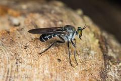 Robber Fly (jgruber111) Tags: atomosiini laphriinae asilidae diptera insect macro entomology robberfly fincalaspiedras