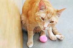 Vancatver (kirstiecat) Tags: vancouver vancatver feline kitty cat chat gato gingercat catcafe canada catada
