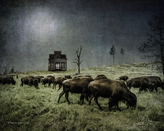 Where the buffalo roam (bigtownhicks) Tags: buffalo americana bison bluemoundstatepark pipestone minnesota abandoned southcarolina oldbuilding backroads bigtownhicks barbaragrether