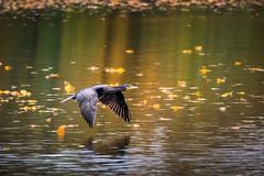 Cormorant (holgerreinert) Tags: 2019 50200 elmarit hes50200 kormoran leica ludwigsburg monrepos november vario naturelove