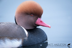 Red-crested pochard (Matt Hazleton) Tags: redcrestedpochard nettarufina bird wildlife nature animal outdoor pochard water waterfowl waterbird wildfowl canon canoneos7dmk2 canon100400mm eos 7dmk2 100400mm matthazleton matthazphoto london hydepark