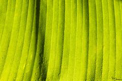 Leaf (Kusi Seminario) Tags: hoja rainforest selva jungle nature outdoors amazon amazonia amazonas tropic neotropic tambopata madrededios peru southamerica sudamerica