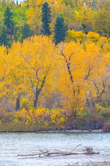 Along The Bow (stevenbulman44) Tags: color autumn fall calgary alverta river bowriver landscape canon 70200f28l filter tripod gitzo log branch gree tree forest yellow