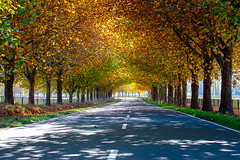 Driving the highway through an avenue of oak trees  with stunning vibrant colours in autumn (stewart.watsonnz) Tags: tree road street nature leaf park landscape plant grass lane light outdoors path sunlight grove woodland branch forest maple fall outdoor natural guidance tarmac trunk highway avenue autumn bench freeway oak trees asphalt shade shadows yellow orange leaves foliage trunks branches line markings