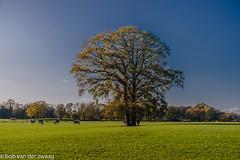 _DSC4723 (bob.vanderzwaag) Tags: gras cows tree nature natuur koeien bomen herfst kleuren