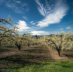 Orchard on Old Dalles Road, Hood River (Gary L. Quay) Tags: hoodriver columbiagorge columbiarivergorge outside oregon outdoors pacificnorthwest orchard srping springtime bloom blossom trees fruit potential fruitloop farm farming agriculture fresh organic healthy hasselblad film 6x6 garyquay kodak mounthood mountain snowcapped clouds sky scenic landscape mediumformat filmphotography westernusa