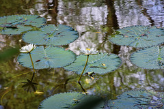 Fragrant Water Lily! (Abeer!) Tags: abeer abeerbarman black brown blue bengal blackandwhite daylight details dark earth fall flowers flora green golden garden garchumuk india innocence kolkata leaves lake nature new object objective plant park reflection scenery sky sunlight sunshine tree trees white westbengal water waves yellow fragrant lily