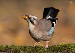 Jay Hoarding Acorns (Mick Erwin) Tags: nikon afs 600mm f4e fl ed vr lens d850 mick erwin stoke trent staffordshire wildlife nature autumn jays eurasianjay jaybird eurasian jay garrulus glandarius corvid