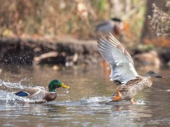 You cannot love a thing without wanting to fight for it.  -G. K. Chesterton (Melinda G Pix) Tags: outdoor nature waterfowl mallard duck