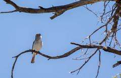 Gray Vireo (Eddie Monson) Tags: bigmorongo bird socal southern tree