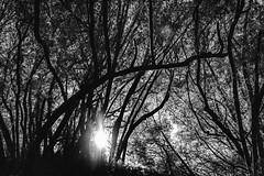 Until the Sun Turns Black (Thomas Hawk) Tags: america bayarea california eastbay oakland sfbayarea usa unitedstates unitedstatesofamerica westcoast bw norcal tree trees fav10 fav25