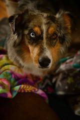 Sock's Corner (flashfix) Tags: november092019 2019inphotos flashfix flashfixphotography ottawa ontario canada nikond7100 40mm sock dog canine animal pet austrailanshepherd triaustrailanshepherd bluemerle tricolour heterochromia familytime portrait