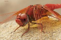 Trithemis kirbyi (Sélys, 1891) (Pipa Terrer) Tags: trithemiskirbyi odonata dragonfly libélula anisoptera puertogarruchal insecta invertebrados insectos