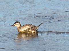 Muddy Ruddy (Eric C. Reuter) Tags: birds birding nature wildlife nj forsythe refgue nwr oceanville brigantine november 2019 110919