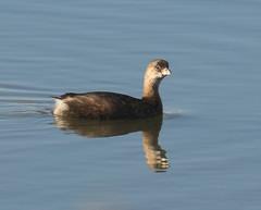 Pied Billed Grebe (Eric C. Reuter) Tags: birds birding nature wildlife nj forsythe refgue nwr oceanville brigantine november 2019 110919