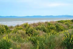 Pegasus Bay Lupins (Kiwi Jono) Tags: lupins pegasus bay beach sea port hills water sand dunes outdoors limited smcpfa77f18