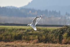 Seagull in Flight (Karen Molenaar Terrell) Tags: seagull bird padillabay skagitcounty washingtonstate pacificnorthwest