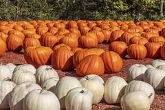 Burt's Pumpkin Farm - White and Orange (Yer Photo Xpression) Tags: ron mayhew ronmayhew burtspumpkinfarm pumpkin dawsoncounty georgia northgeorgia