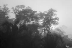 Fog (Kusi Seminario) Tags: blackandwhite blancoynegro bw landscape paisaje trees arboles neblina rainforest selva jungle nature outdoors amazon amazonia amazonas tropic neotropic tambopata madrededios peru southamerica sudamerica
