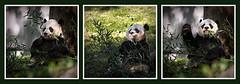 A Happy Panda (Simmie | Reagor - Simmulated.com) Tags: 2019 autumn connecticutphotographer conservation d750 dc endangered fall giantpanda landscapephotographer mammal naturephotographer nikon november smithsoniannationalzoo washington wildlife zoo digital districtofcolumbia unitedstatesofamerica zoosofnorthamerica