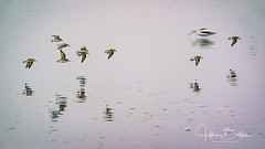 Western Sandpipers in flight (Jeffrey Balfus (thx for 5.5M views)) Tags: shoreline sonya9 ilce9 gmasterfe100400mmsupertelephotozoomlens sel100400gm tc14 westernsandpiper peeps waterfowl winterpulmage