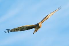 No Quarter (gseloff) Tags: northernharrier bird flight bif hunting raptor nature wildlife brazorianationalwildliferefuge nwr texas gseloff