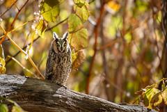 Long-Eared Owl (Jesse_in_CT) Tags: longearedowl owl nikon nikon200500mm
