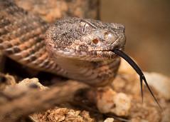 Tiger Rattlesnake (Crotalus tigris) (CNZdenek) Tags: tigerrattlesnake crotalus crotalustigris snakesofsearizona arizonawildlife venomoussnake venomoussnakesofarizona christinazdenek cnzdenek christinanzdenek wildlfie crotalinae