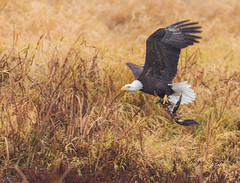 Leftovers to Go (Angie Vogel Nature Photography) Tags: bird eagle baldeagle raptor birdofprey carcass leftovers wildlife ridgefieldnationalwildliferefuge