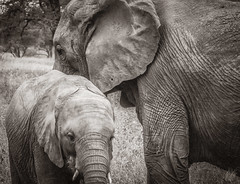 MOTHER AND CHILD (eliewolfphotography) Tags: elephant elephants explore endangered nature naturelovers nikon naturephotography natgeo naturephotographer natgeowild tanzania tarangire travel blackandwhite bnw