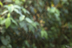 Spider web (Kusi Seminario) Tags: spider araña teladearaña web macro aracnido arachnid invertebrado invertebrate dof blurry rainforest selva jungle nature outdoors amazon amazonia amazonas tropic neotropic tambopata madrededios peru southamerica sudamerica
