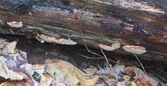 Pehmepoorik; Sarcoporia polyspora; rusakonkääpä (urmas ojango) Tags: seened fungi polyporales torikulaadsed fomitopsidaceae sarcoporia pehmepoorik sarcoporiapolyspora rusakonkääpä