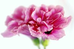 Hibiscus mon amour (Christian Chene Tahiti) Tags: canon 6d paea tahiti hibiscus fleur rose pink rouge red reflection reflet miroir réflexion macro macromonday dentelé dentelle hmm flore bokeh closeup nature