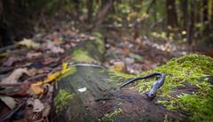 Peaks of Otter Salamander (Plethodon hubrichti) (David A. Burkart) Tags: peaksofotter salamander plethodon hubrichti bedfordcounty virginia usa amphibian herping herp appalachian woodland