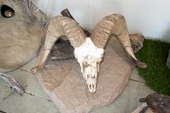 Skull of a Bighorn Sheep (quinet) Tags: 2019 britishcolumbia canada oosoyos oosoyosdesertcentre schädel crâne skull yale