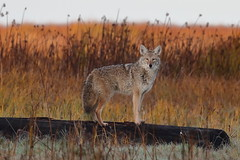 Coyote (brian.bemmels) Tags: coyote canis latrans canislatrans nature fauna outdoors outside wildlife richmond bc britishcolumbia canada terranovapark mammal