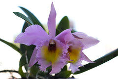 orchid (divad_187) Tags: orchid orquidea cattleya