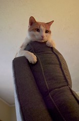 scaling Mt. Recliner (rootcrop54) Tags: otis dilute orange ginger tabby male masked cat recliner chair neko macska kedi 猫 貓 kočka kissa γάτα köttur kucing gatto 고양이 kaķis katė katt katze katzen katua kot кошка mačka gatos kotek мачка pisică pisici maček kitteh chat ネコ mountainclimber