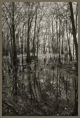 Blue Springs IR #16 2019; Cypress Swamp (hamsiksa) Tags: water wetlands swamps cypressswamps rivers springs florida volusiacounty orangecity bluespringsstatepark baldcypress taxodiumdistichum landscape blackwhite infrared digitalinfrared